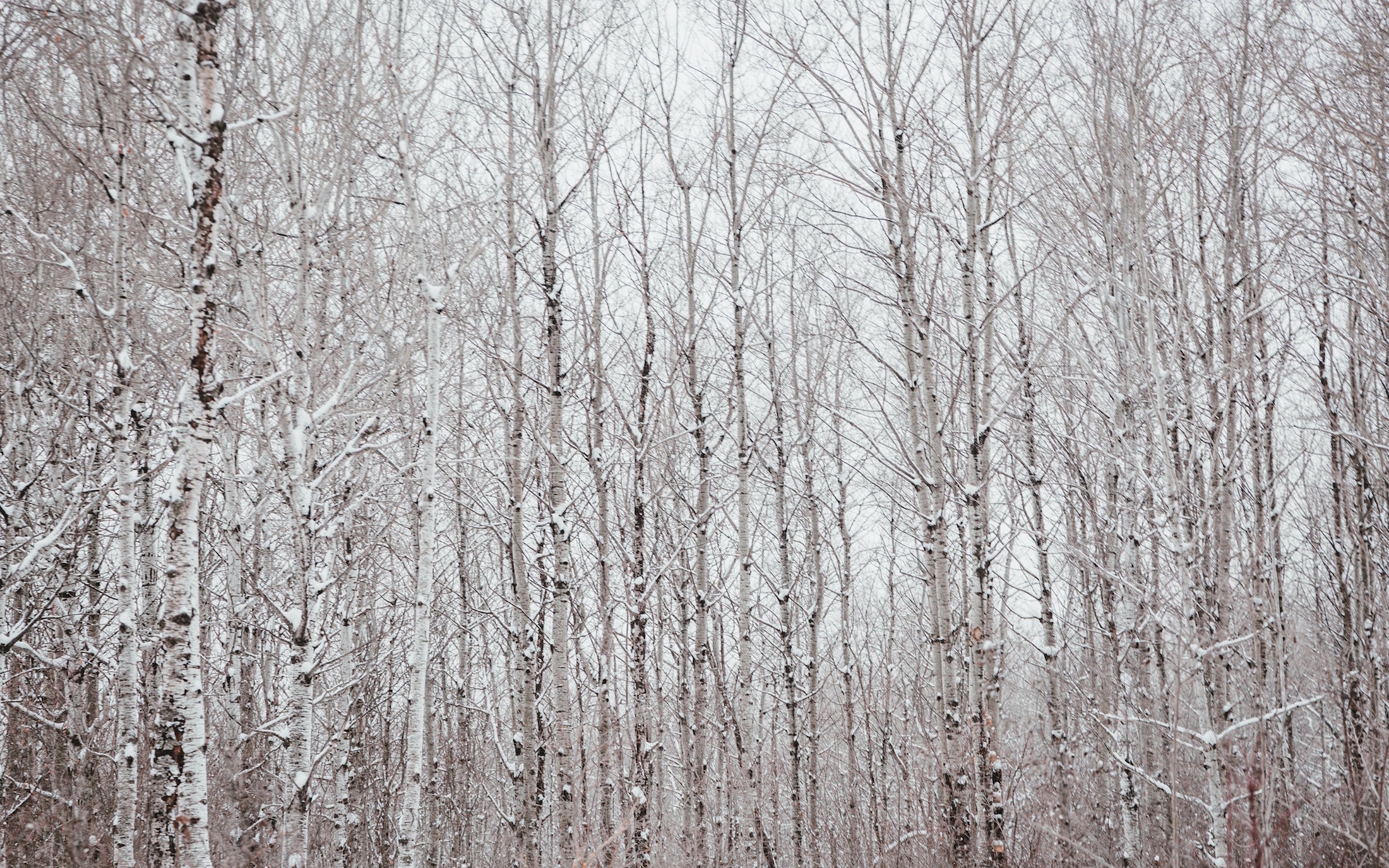 a-black-and-white-polar-forest-against-a-white-winter-sky.jpg